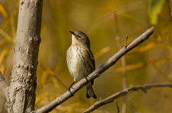 Fall Yellow-rumped Warbler Stock Photo