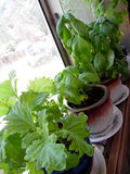 Photograph of Basil Plants Growing in Windowsill Stock Photography