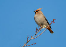 Bohemian Waxwing. Photograph of a beautiful Bohemian Waxwing perched on a winter branch with a cold clear winter sky as a background Stock Photos