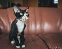 Devon Rex cat. A photograph of a beautiful and lovely  Devon Rex cat Royalty Free Stock Photography