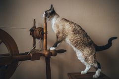 Devon Rex cat. A photograph of a beautiful and lovely, one of the most faithful and intelligent - Devon Rex cat Royalty Free Stock Photography