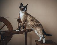 Devon Rex cat. A photograph of a beautiful and lovely, one of the most faithful and intelligent - Devon Rex cat Stock Images