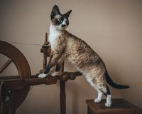 Devon Rex cat. A photograph of a beautiful and lovely, one of the most faithful and intelligent - Devon Rex cat Stock Photography