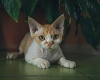 Love for Devon Rex. royalty free stock photos