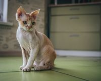 Love for Devon Rex. royalty free stock photography