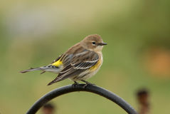 Fall Yellow-rumped Warbler Royalty Free Stock Images