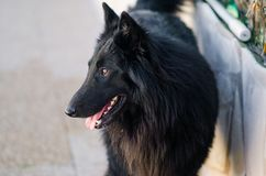 Photograph of a Belgian shepherd in the home yard. Black dog at home stock image