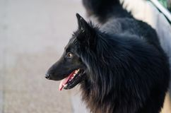Photograph of a Belgian shepherd in the home yard. Black dog at home stock photos
