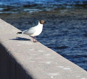 Photograph birds seagulls sitting on the granite parapet of the embankment on the background of blue water. Stock Photos
