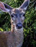 A Black tail deer facing me. stock photos