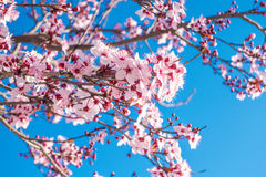 Spring time. Photograph of blooming tree in a spring sunny day Royalty Free Stock Image