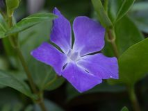 Blue-purple flower Stock Photography