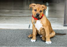 Puppy Dog Outside Boxer Pit Bull Mix. A photograph of a boxer pit bull mix puppy dog sitting outside looking at the camera stock image
