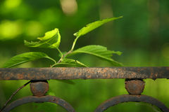 A photograph of a branch of a Bush with leaves above the fragment of an old rusty metal fence Royalty Free Stock Photo