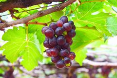 A Bunch of Grapes hanging on Vine in Vineyard in India. This is a photograph of a bunch of grapes hanging on vine in a vineyard in Theni, Tamilnadu, India Stock Image