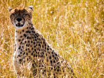 Photograph of Cheetah Stock Images