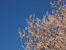 Cherry Blossom on a tree in Spring Royalty Free Stock Photography