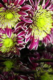 Chrysanthemum A Stock Image