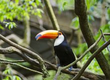 Colorful Toucan in the Tree in Iguazu, Brazil royalty free stock photos