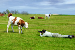 Photograph and cow royalty free stock images