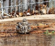 A photograph of a curved bill thrasher bathing in a sprinkler. A photograph of a curved billed thrasher bird bathing in the sprinkler Stock Photo