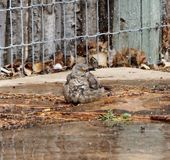 A photograph of a curved bill thrasher bathing in a sprinkler. A photograph of a curved billed thrasher bird bathing in a sprinkler and fluffing his feathers Stock Images