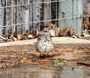 A photograph of a curved bill thrasher bathing in a sprinkler. A photograph of a curved bill thrasher bird bathing in the sprinkler showing how he fluffs his Stock Photography