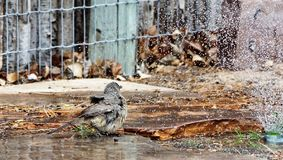 A photograph of a curved bill thrasher bathing in a sprinkler. A photograph of a curved billed thrasher bird bathing in the sprinkler water fluffing his feathers Stock Photo