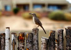 The curved billed thrasher bird sitting on the fence. A photograph of the curved billed thrasher bird sitting on the fence showing his large beak Royalty Free Stock Photography