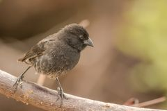 Darwin finch. This is a photograph of a darwin finch taken in the galapagos islands, Ecuador royalty free stock images