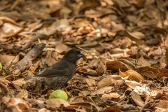 Darwin finch. This is a photograph of a darwin finch taken in the galapagos islands, Ecuador stock images