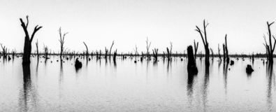 Photograph of dead tree trunks sticking out of the water, Australia. Black and white Picture of dead tree trunks sticking out of the water,NRW, Australia royalty free stock photos