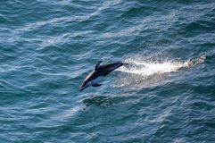Dolphin Jumping out of the Water. Photograph of dolphin jumping out of the water. Pacific Ocean off Canadian coast stock photo