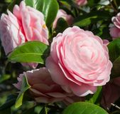Double-flowered camellia. This is a photograph of a double-flowered camellia Royalty Free Stock Image