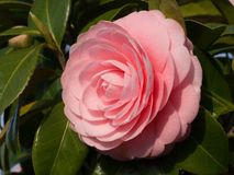 Double-flowered camellia. This is a photograph of a double-flowered camellia Stock Photo