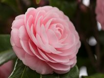 Double-flowered camellia. This is a photograph of a double-flowered camellia Royalty Free Stock Photos