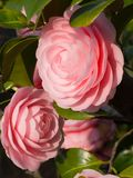 Double-flowered camellia. This is a photograph of a double-flowered camellia Stock Photography