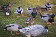 Ducks Feeding on the Grass. Photograph of ducks looking for food in the grass in the morning Stock Images