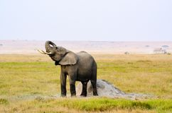Photograph of Elephant Stock Photos