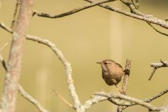 Singing eurasian wren. This is a photograph of a eurasian wren singing for the audience stock photos