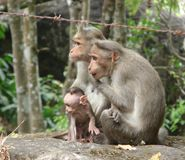 A Bonnet Macaque - Indian Monkey - Family with Mother, Father and Active Young Kid Royalty Free Stock Image