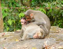 A Bonnet Macaque - Indian Monkey - Family with Mother, Father and a Young Baby Stock Images