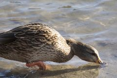 A Duck Looking for Breakfast. Photograph of a female mallard duck on a pond in the morning, with her beak below the water looking for food Royalty Free Stock Photos
