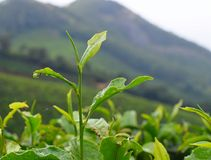 Fresh Green Leaves of Tea Plant - Camellia Sinensis - in Tea Estate over Hills. This is a photograph of fresh, green leaves of tea plant - camellia sinensis Stock Photo