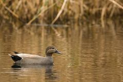 Gadwall swimming in a canal stock images