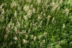 Photograph of green grass with spikes. Grass background. Royalty Free Stock Images