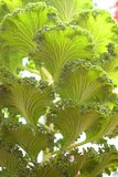 Abstract Green Leaves Natural Background - Ornamental Kale - Brassica Oleracea Stock Photos