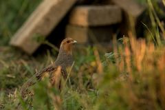 Grey partridge in search for food. This is a photograph of a grey partridge searching for food stock photo