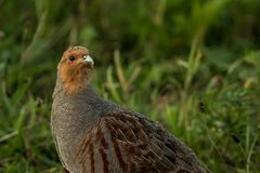 Grey partridge in search for food. This is a photograph of a grey partridge searching for food royalty free stock images