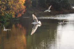 Birds in Flight over a Lake. A photograph of gulls flying over a lake, with wings spread and autumnal trees on the waters edge stock images